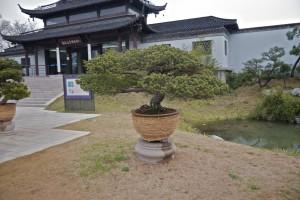 Bridges Park Bonzai Tree 1